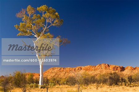 Ghost Gum Tree and West MacDonnell Ranges, West MacDonnell National Park, Northern Territory, Australia
