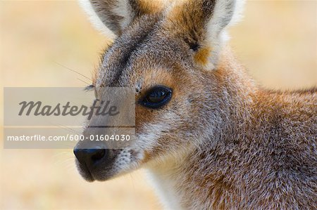 Red Necked Wallaby, Queensland, Australia Stock Photo - Premium Royalty-Free, Image code: 600-01604030