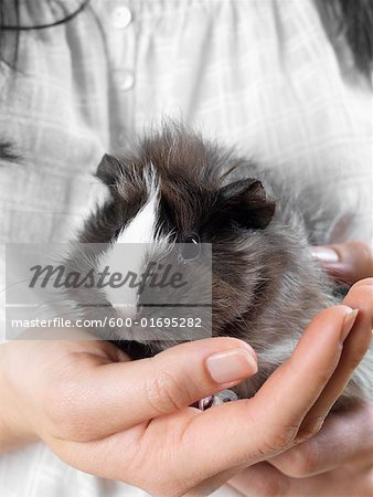 Close-up of Guinea Pig Stock Photo - Premium Royalty-Free, Image code: 600-01695282