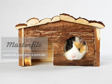 Guinea Pig Stock Photo - Premium Royalty-Free, Image code: 600-01695286