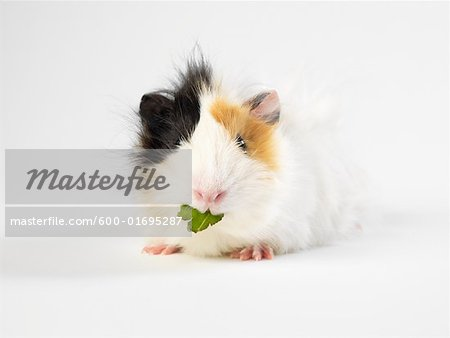 Guinea Pig Stock Photo - Premium Royalty-Free, Image code: 600-01695287