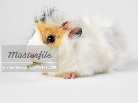 Guinea Pig Stock Photo - Premium Royalty-Free, Image code: 600-01695288