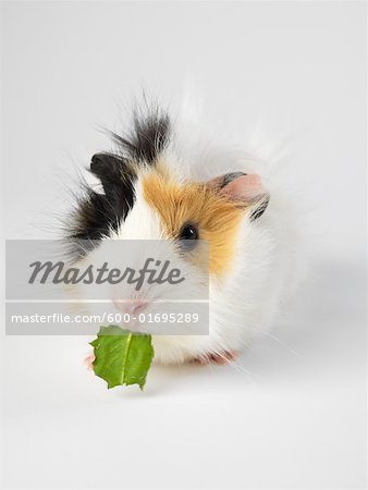 Guinea Pig Stock Photo - Premium Royalty-Free, Image code: 600-01695289