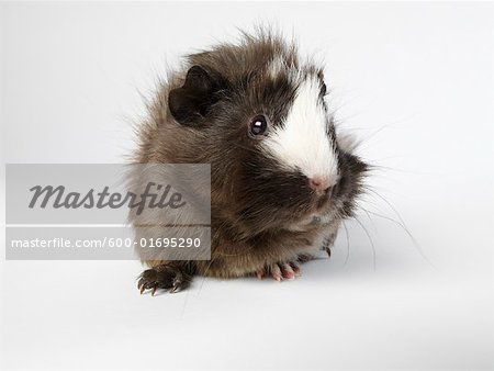 Guinea Pig Stock Photo - Premium Royalty-Free, Image code: 600-01695290