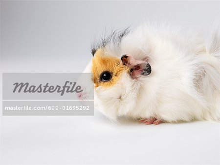 Guinea Pig Stock Photo - Premium Royalty-Free, Image code: 600-01695292