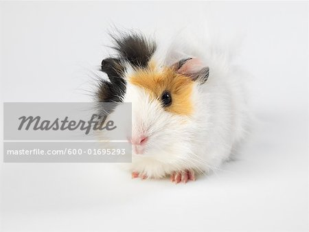 Guinea Pig Stock Photo - Premium Royalty-Free, Image code: 600-01695293