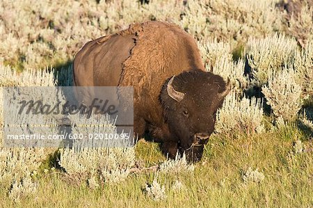 Portrait of Bison, Yellowstone National Park, Wyoming, USA
