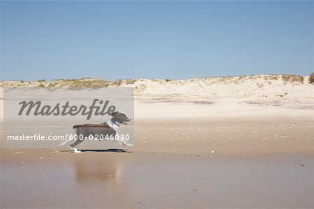 Dog Running on the Beach, Ocracoke Island, Cape Hatteras, North Carolina, USA