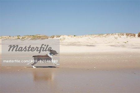 Dog Running on the Beach, Ocracoke Island, Cape Hatteras, North Carolina, USA