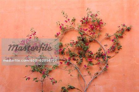 Bougainvillea Growing on Wall, San Miguel de Allende, Guanajuato, Mexico