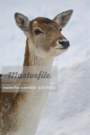 Red Deer, Omega Park, Montebello, Quebec, Canada Stock Photo - Premium Royalty-Free, Image code: 600-02076401