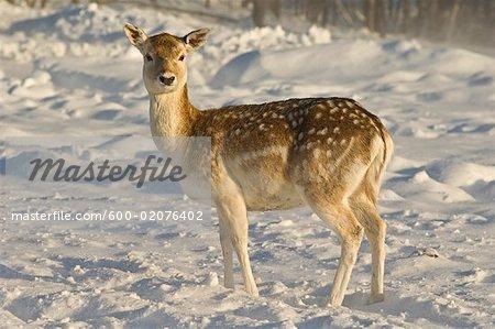 Fallow Deer, Omega Park, Montebello, Quebec, Canada