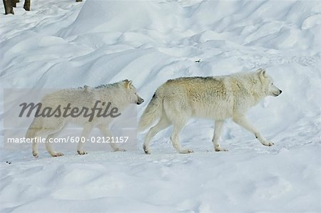 Arctic Wolves, Parc Omega, Montebello, Quebec, Canada Stock Photo - Premium Royalty-Free, Image code: 600-02121157