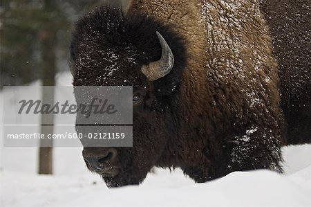 Bison in Winter, Parc Omega, Montebello, Quebec, Canada Stock Photo - Premium Royalty-Free, Image code: 600-02121159