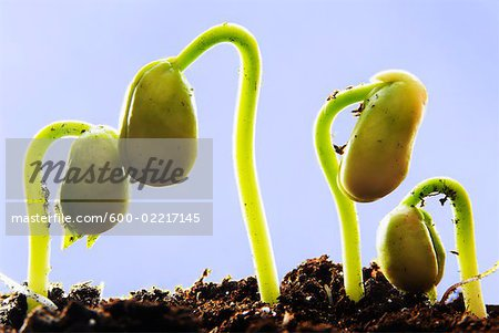 Row of Sprouting Bean Plants