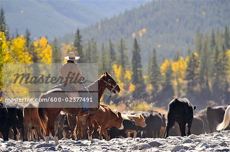 Cowboy rounding up cattle, Alberta, Canada Stock Photo - Premium Royalty-Free, Image code: 600-02377491