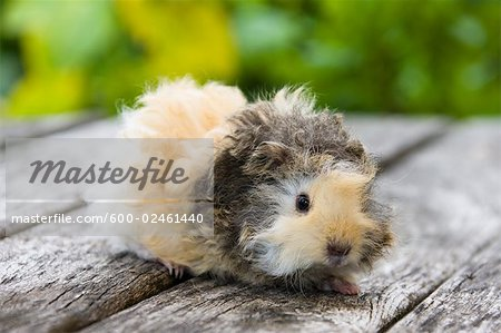 Lunkarya Guinea Pig Stock Photo - Premium Royalty-Free, Image code: 600-02461440