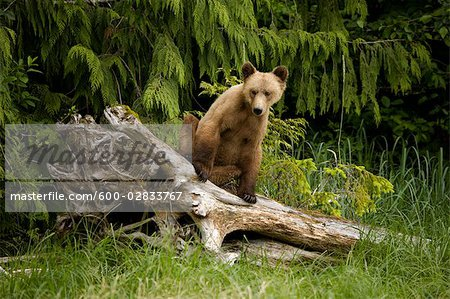 Young Grizzly Bear Sitting on a Stump, Glendale Estuary, Knight Inlet, British Columbia, Canada Stock Photo - Premium Royalty-Free, Image code: 600-02833767