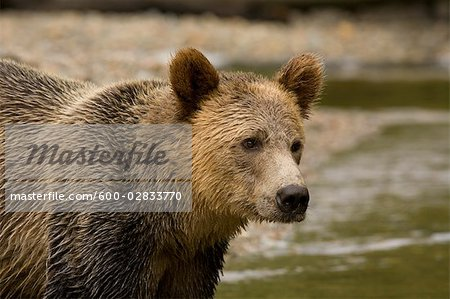 Male Grizzly Bear in Knight Inlet, British Columbia, Canada Stock Photo - Premium Royalty-Free, Image code: 600-02833770