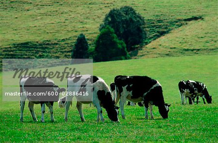 Dairy Cattle Grazing in Green Field Stock Photo - Premium Royalty-Free, Image code: 600-02886416