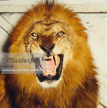 Lion Roaring Stock Photo - Premium Royalty-Free, Image code: 600-02886526