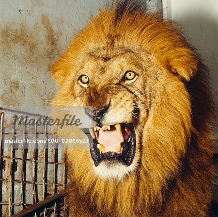 Lion Roaring Stock Photo - Premium Royalty-Free, Image code: 600-02886527
