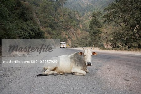 Cows Lying on the Road in Rishikesh, Uttarakhand, India Stock Photo - Premium Royalty-Free, Image code: 600-02957929
