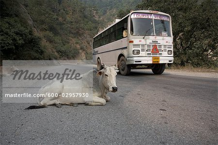 Cows Lying on the Road as a Tour Bus Drives By, Rishikesh, Uttarakhand, India Stock Photo - Premium Royalty-Free, Image code: 600-02957930