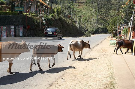 Cattle on Road, Kerala, India Stock Photo - Premium Royalty-Free, Image code: 600-02957987