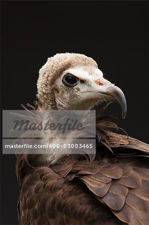 Portrait of Hooded Vulture Stock Photo - Premium Royalty-Free, Image code: 600-03003465