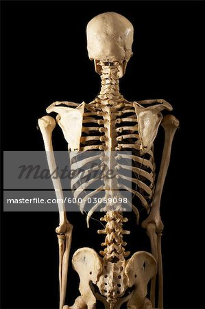 posterior view of skeleton - stock photo - masterfile - premium, Skeleton