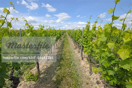 Vineyard, Alzey, Alzey-Worms, Rhineland-Palatinate, Germany Stock Photo - Premium Royalty-Free, Image code: 600-03152785