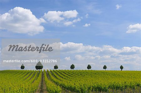 Vineyard, Alzey, Alzey-Worms, Rhineland-Palatinate, Germany Stock Photo - Premium Royalty-Free, Image code: 600-03152786