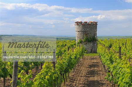 Vineyard and Old Castle Tower, Ober-Florsheim, Alzey-Worms, Rhineland-Palatinate, Germany Stock Photo - Premium Royalty-Free, Image code: 600-03152788