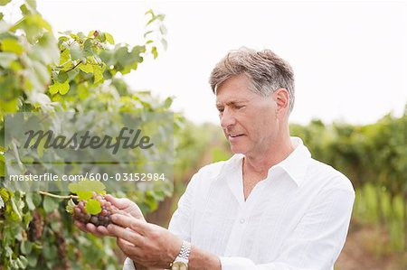 Wine Maker Examining Grapes Stock Photo - Premium Royalty-Free, Image code: 600-03152984