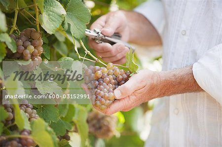 Wine Maker Cutting a Bunch of Grapes off the Vine Stock Photo - Premium Royalty-Free, Image code: 600-03152991