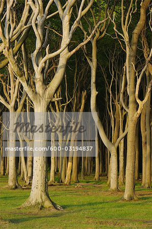 Beech Trees, Nienhagen, Bad Doberan, Western Pomerania, Mecklenburg-Vorpommern, Germany Stock Photo - Premium Royalty-Free, Image code: 600-03194837