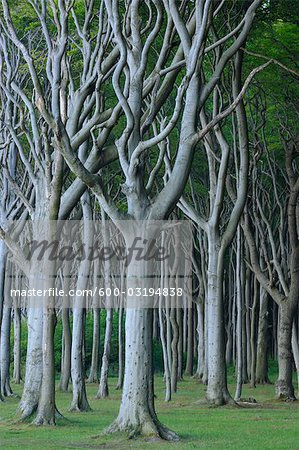 Beech Trees, Nienhagen, Bad Doberan, Western Pomerania, Mecklenburg-Vorpommern, Germany Stock Photo - Premium Royalty-Free, Image code: 600-03194838