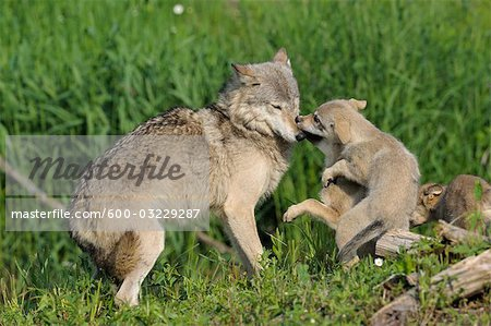 Gray wolf with pups minnesota usa stock photo premium royalty free