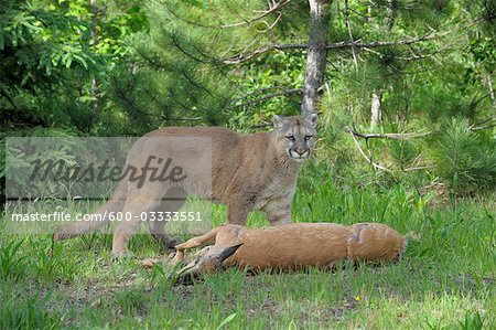 Mountain Lion with Prey, Minnesota, USA Stock Photo - Premium Royalty-Free, Image code: 600-03333551