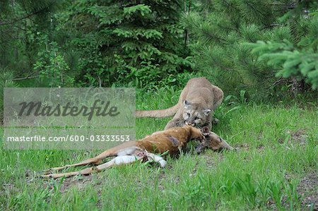 Mountain Lion with Prey, Minnesota, USA Stock Photo - Premium Royalty-Free, Image code: 600-03333553