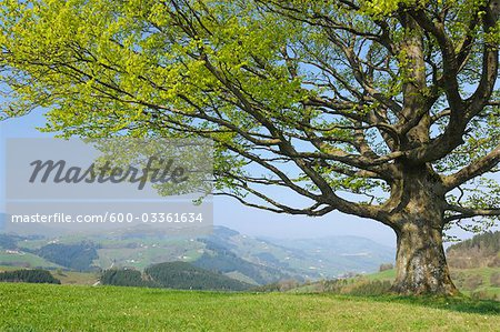 Beech tree in Spring, Mostviertel, Lower Austria, Austria Stock Photo - Premium Royalty-Free, Image code: 600-03361634