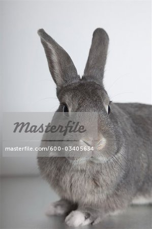 Rabbit in Studio Stock Photo - Premium Royalty-Free, Image code: 600-03405634