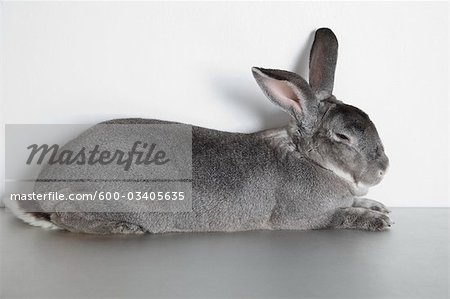 Rabbit Sleeping in Studio Stock Photo - Premium Royalty-Free, Image code: 600-03405635