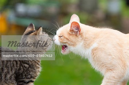 Portrait of Cats Stock Photo - Premium Royalty-Free, Image code: 600-03407412