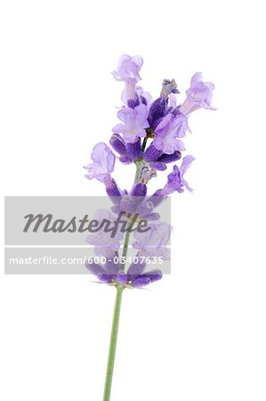 Close-up of Lavender Flower Stock Photo - Premium Royalty-Free  Artist    Lavender Flower Close Up