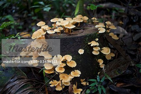 Mushrooms, Amazon Rainforest, Sacha Lodge, Ecuador Stock Photo - Premium Royalty-Free, Image code: 600-03439313