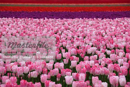 Tulip Farm, Skagit Valley, Washington, USA Stock Photo - Premium Royalty-Free, Image code: 600-03484620