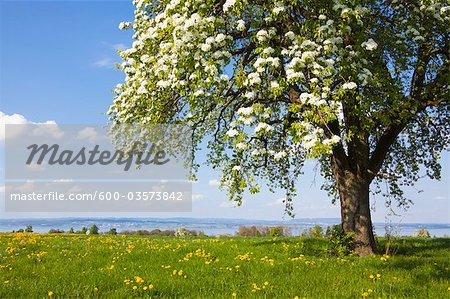 Blooming Pear Tree in Field of Dandelions, Langrickenbach, Kreuzlingen, Thurgau, Switzerland Stock Photo - Premium Royalty-Free, Image code: 600-03573842