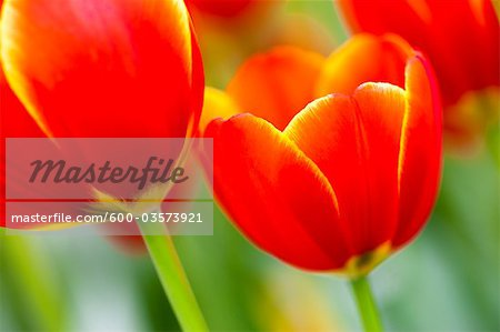 Close-up of Tulips, Keukenhof Gardens, Lisse, South Holland, Netherlands Stock Photo - Premium Royalty-Free, Image code: 600-03573921